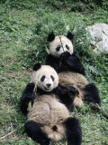 Giant Panda Bears Lying in the Grass  China