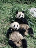 Giant Panda Bears Lying in the Grass  China