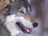 Close-up of a Wolf  Canis Lupus