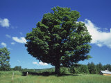 A Sugar Maple Tree in the Summer  Vermont