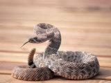 Prairie Rattlesnake (Crotalus Viridis Viridis)