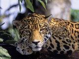 Jaguar in Natural Habitat  Belize