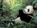 Giant Panda Feeding on Bamboo Leaves