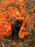 Black Timber Wolf in Autumn Forest