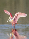 Roseate Spoonbill  Ding Darling Nwr  FL