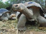 Galapagos Giant Tortoises  Ecuador