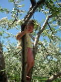 Girl in Tree in Apple Orchard  Glastonbury  CT