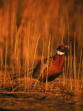 Ringneck Pheasant