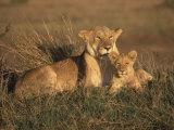 Lioness and Cub  Masai Mara Reserve  Kenya