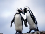 Jackass Penguins  South Africa