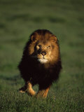 African Lion Walking in Grass