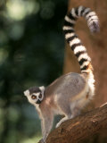 Ring-Tailed Lemur  Lemur Catte