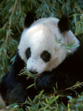 Giant Panda  Ailuropoda Melanoleuca