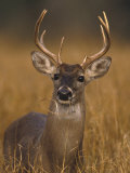 Whitetail Buck in High Grass