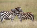Burchell's Zebras  Serengeti  Tanzania