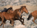 Wild Horses Running Through Desert  CA