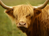 Long-Haired Cow  Scottish Highlands