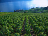 Grape Vineyards  Lake Geneva  Switzerland