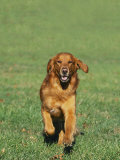 Golden Retriever Running Towards You on Grass
