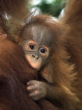 Bébé orang-outang de Sumatra, Indonésie Papier Photo par D. Robert Franz