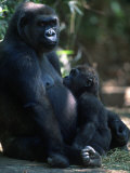 Western Lowland Gorilla