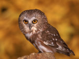 Saw-Whet Owl on Tree Stump