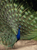 Male Peacock