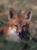 Red Fox Pup  Vulpes Fulva  CO