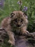 Lynx Kitten in Flowers  Lynx Canadensis