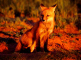 Red Fox at Den at Sunrise