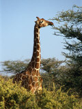 Reticulated Giraffe Eating Acacia  Samburu  Kenya
