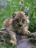Lynx Kitten  Lynx Canadensis  MT