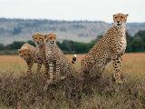 Cheetah & Cubs  Termite Mound  Masai Mara  Keny