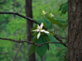 Flowering Tulip Tree  TN