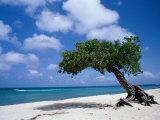 Divi-Divi Tree  Aruba