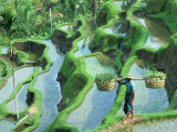 Man in Rice Paddies  Bali  Indonesia