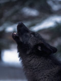 Wolf Howling  Canis Lupus  MN