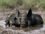Pig and Piglet in Mud Puddle