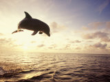 Bottlenose Dolphin Jumping Out of Water