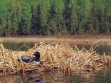 Loon on Nest in Water