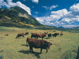 Cattle Grazing on Mt Crested Butte  Colorado
