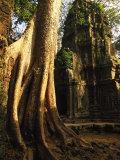 Angkor  Ta Prohm  400-year-old Tree  Cambodia