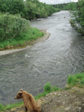 Brown Bear Sitting by River