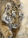 Siberian Tiger Cub  Panthera Tigris Altaica