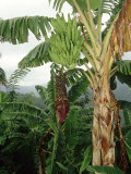 Bananas Cultivated  West Indies