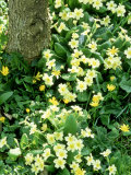 Carpet of Primroses (Primula Vulgaris) Growing Under Tree Spring