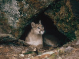 Mountain Lion  Female at Den  USA