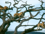 Lionesses in Dead Acacia Tree  Tanzania