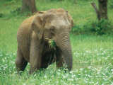Asian Elephant  Cow Feeding  Sri Lanka