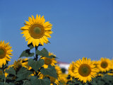 Sunflowers  Andalusia  Spain